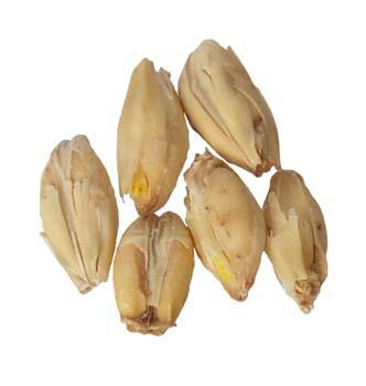 Golden Promise Malt 10 lb Milled