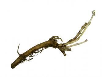 Rhizome - Chinook